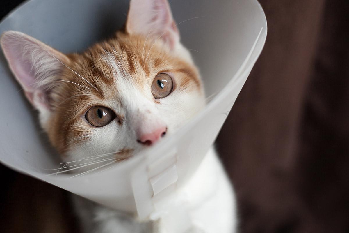 beskyttende krage til katt