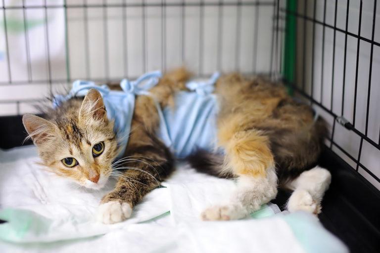 Katt etter operasjon
