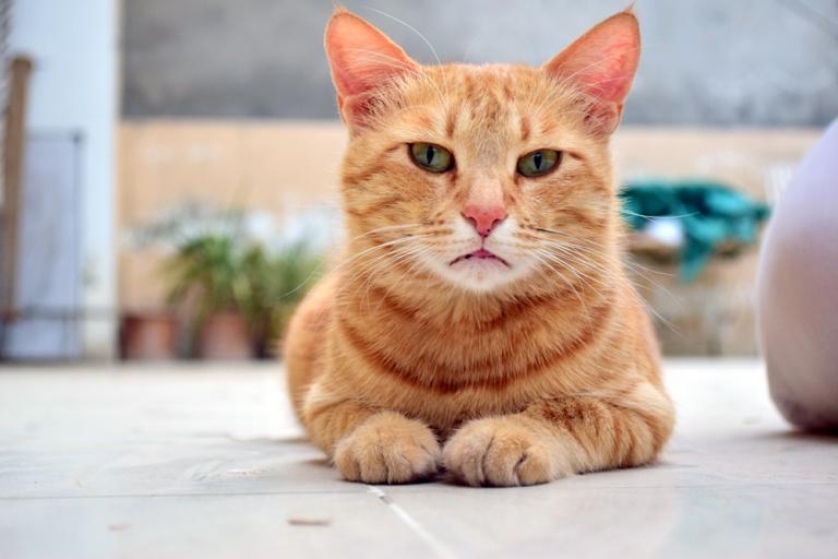 Løskatt, katt som ligger på bakken