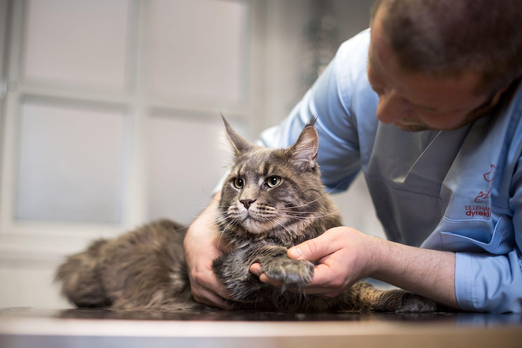 Behandling av katt hos veterinær