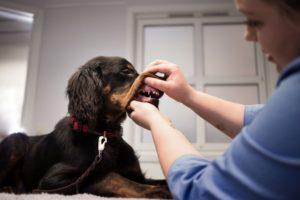 Tannsjekk av hund, tannsjekk