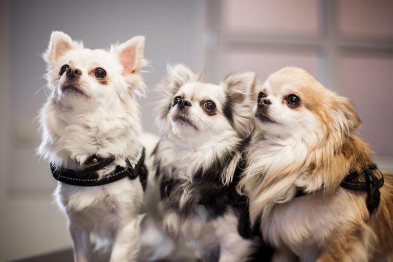 Helsesjekk av små hunder