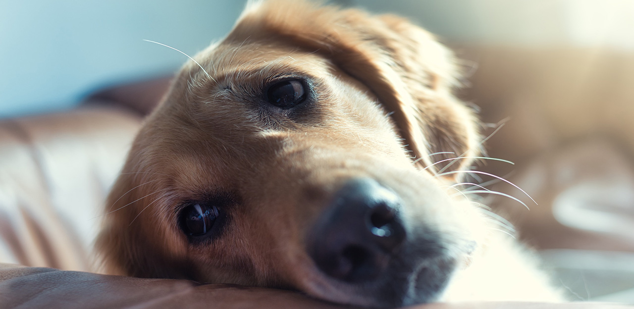 Syk hund, Golden retriever