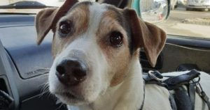 liten hund i passasjersete, terrier