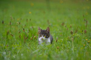 katt i gresset