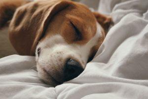 Pankreatitt, syk hund