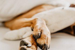 slapp hund som sover, hund har fått i seg et fremmedlegeme