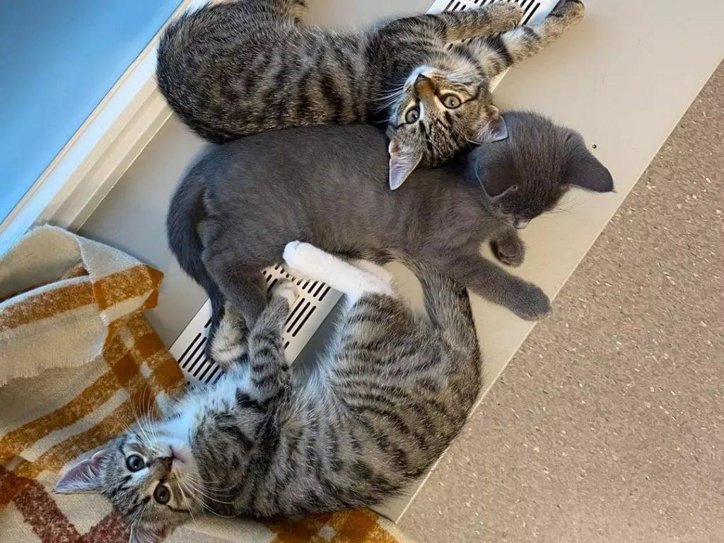katt som har fått vaksine