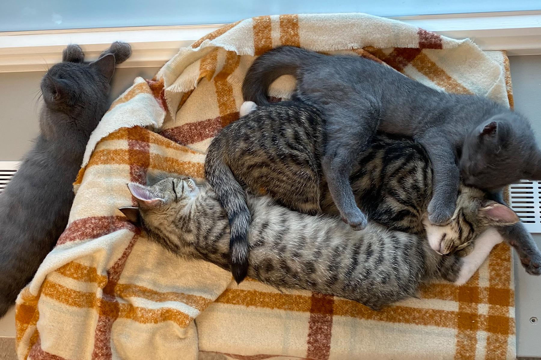 kattunger som har fått vaksine